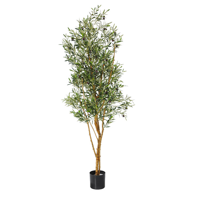 Olive-Tree-With-Olives